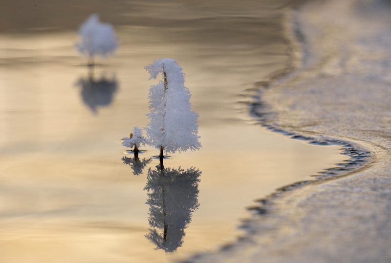 Trees of snow